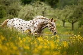 Halsters Pony