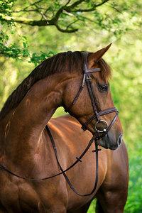 Hoofdstel Covalliero classic bruin